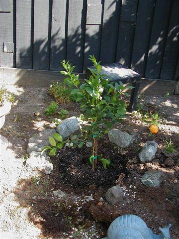 A Bearss lime tree